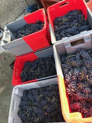 caisses de raisins vendanges 2019